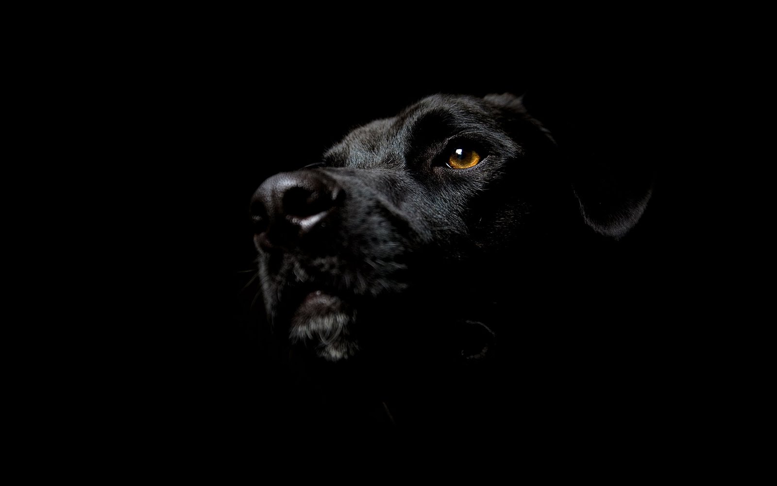 japan: black dog hd wallpapers for desktop backgrounds
