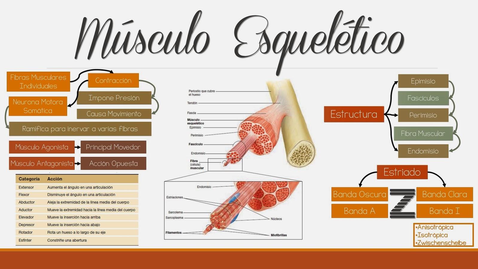 Fisiología Médica: Músculo Esquelético