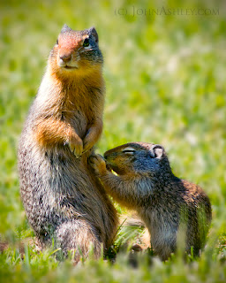 Nursing ground squirrel (c) John Ashley