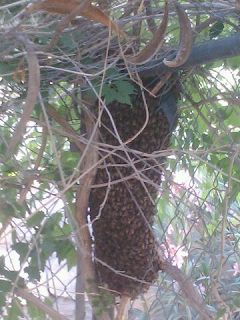 Bee swarm at rest