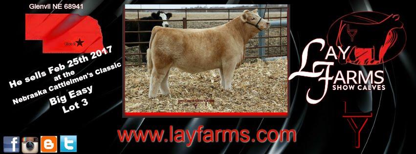 Lay Farms Show Calves