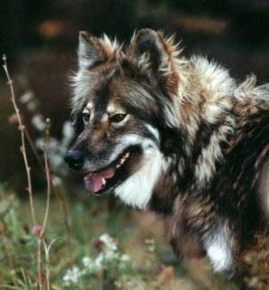 Native American Indian Dog Breed Hypoallergenic