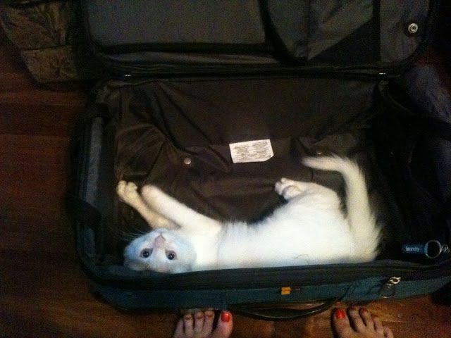 funny cats, cute cat pictures, cat in suitcase