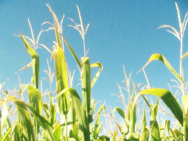 Corn Maze & A Pumpkin Patch