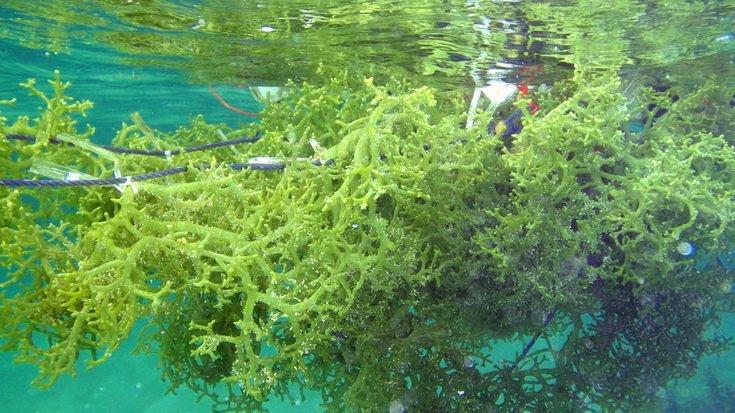 Khasiat Rumpai Laut Sabah Collagen Khasiat Rumpai Laut