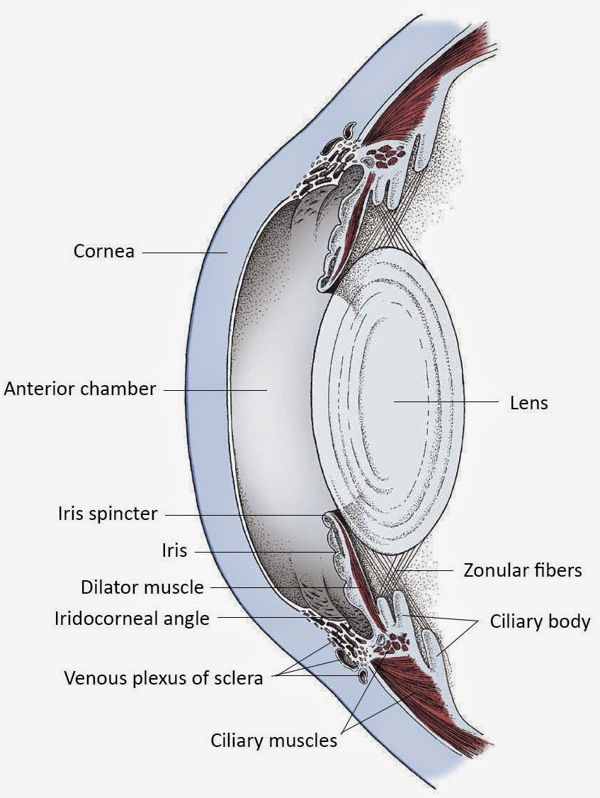 Famous Eye Anatomy Uvea Mold - Physiology Of Human Body Images ...