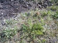Morille, Morchella esculenta dans l'herbe, en bordure d'une place à feu récente
