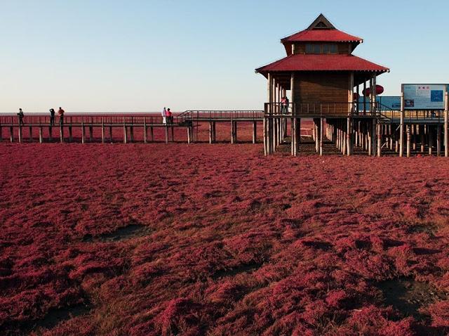 panjin red beach 102 من أجمل شواطئ العالم '' الشاطئ الأحمر '' في مدينة بانجين بالصين