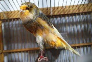Burung Kenari - Solusi Penangkaran Burung Kenari -  Kode Ring Kenari Import Pada Negara Jerman