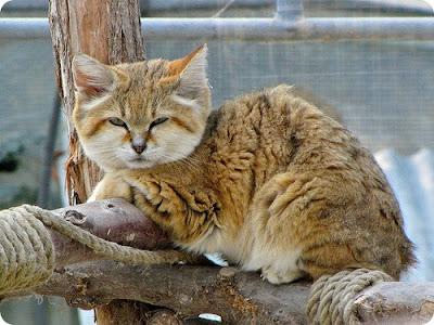 แมว แซนแคท