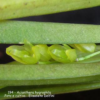 Acianthera hypgrophila  do blogdabeteorquideas