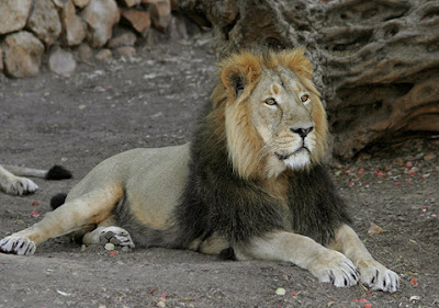 African Lion life and Pictures
