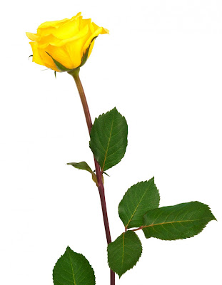 one yellow long stemed rose