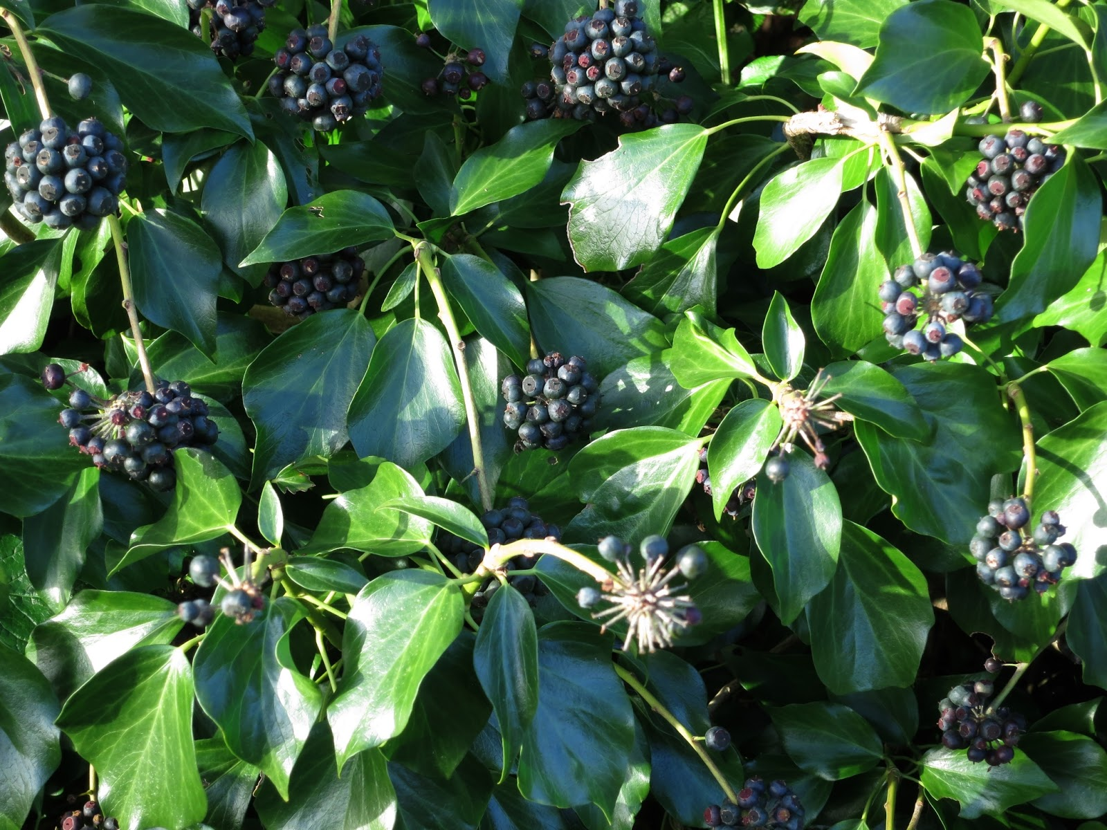 Clusters of black ivy berries and lots of mature ivy leaves