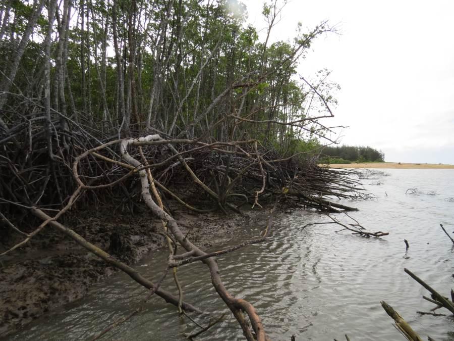 Rhizophora swamp