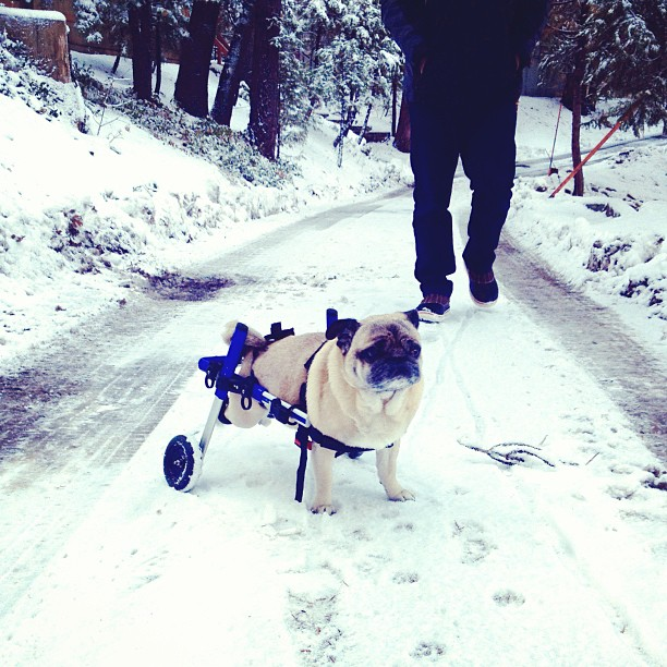 pug in wheels in the snow