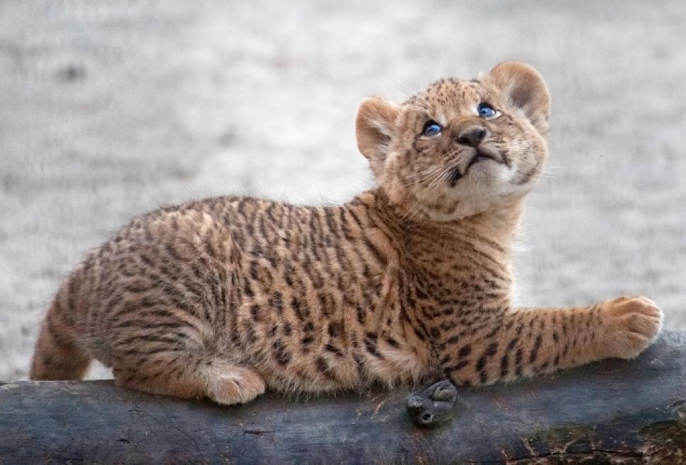 Baby jaglion