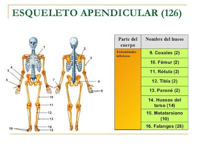 Sistema Oseo: Esqueleto Apendicular