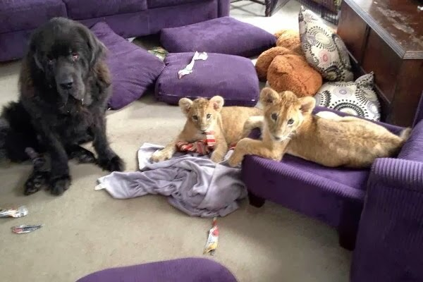 Funny animals of the week - 28 February 2014 (40 pics), dog and two baby lions