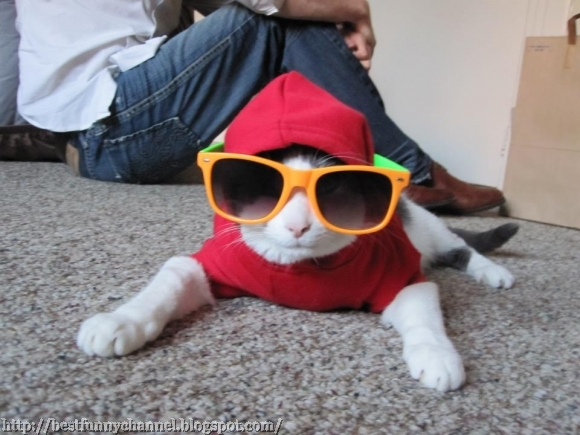 Cat in sunglasses.