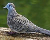 Jenis-Jenis Burung Perkutut