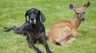 anjing dan rusa