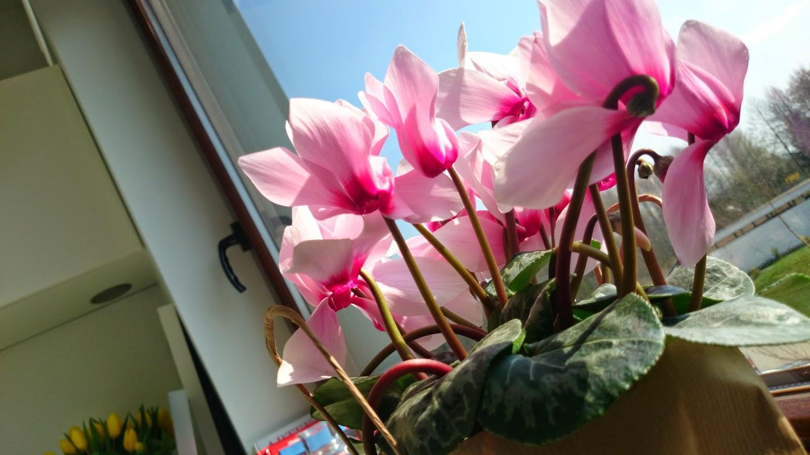 Pastelowy cyklamen w papierowej torbie w roli magnolii
