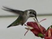 Asteptand colibrii