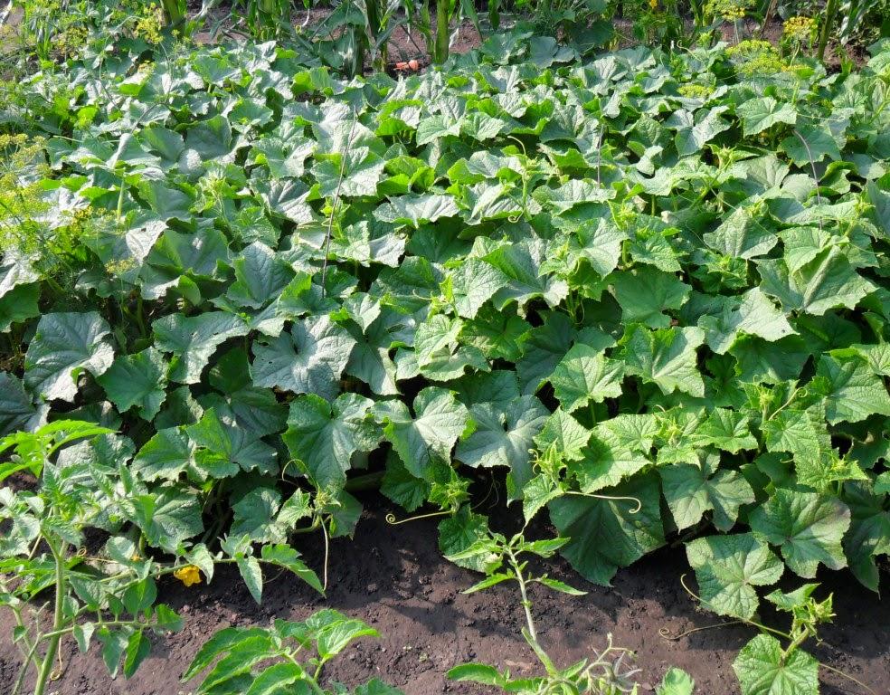 Огурцы растут просто на грунте, скоро начнут заканчиваться, днем жара, ночью холодно и росы. Урожай примерно 1 в с 1 растения