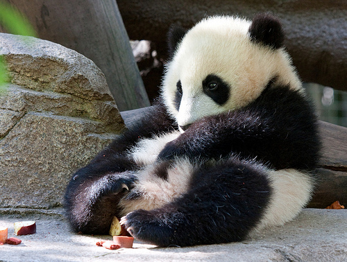 images of cute baby pandas - photo #21