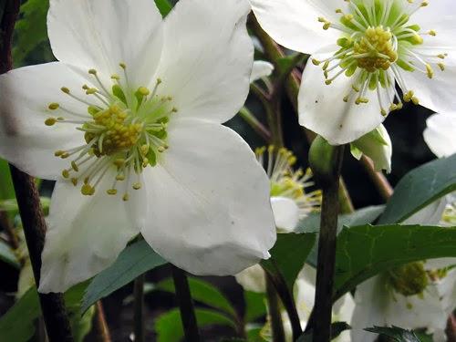 the christmas rose helleborus niger the garden of eaden. Black Bedroom Furniture Sets. Home Design Ideas