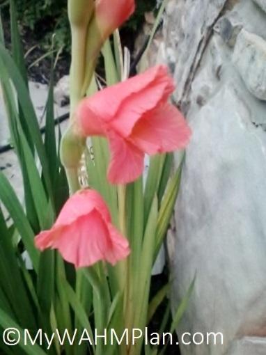 My WAHM Plan: Gladiolus