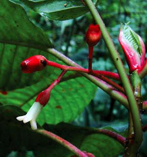 A new coffee tree: Sommera cusucoana