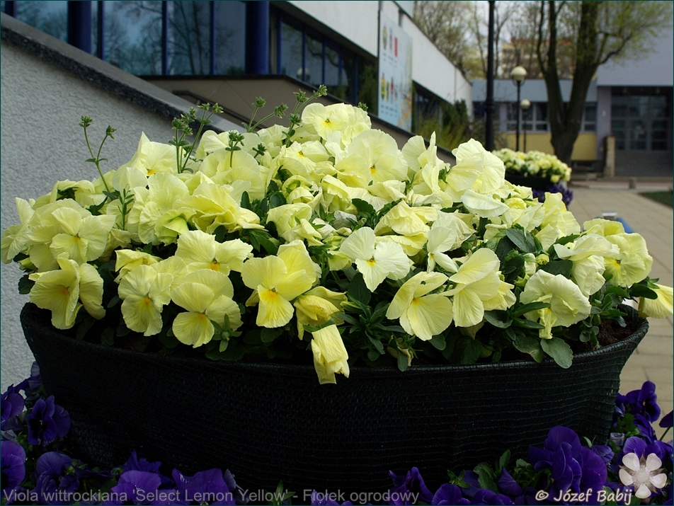 Viola wittrockiana 'Select Lemon Yellow' - Fiołek ogrodowy, bratek
