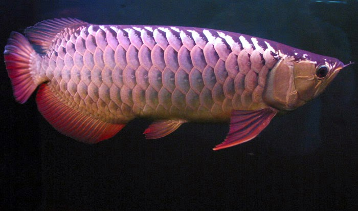 ciri ikan arwana golden red