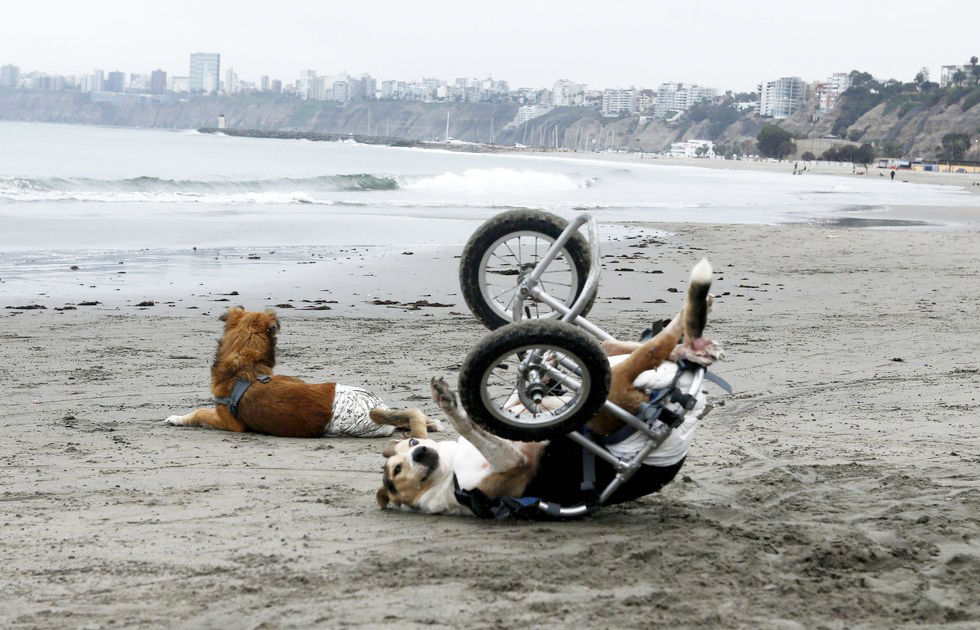 70 Of The Most Touching Photos Taken In 2015 - Paraplegic dogs from a local shelter play at Pescadores beach in Chorrillos, Lima.