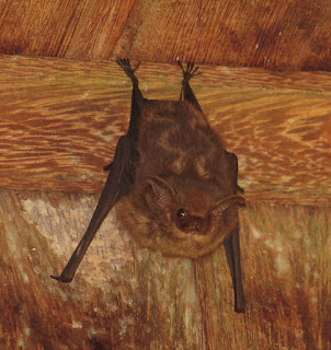 Saccopteryx bilineata, White-lined Sac-winged Bat