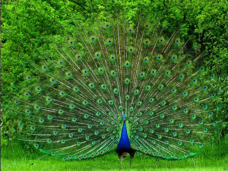 Click on any image nice peacock image beautiful white peacock