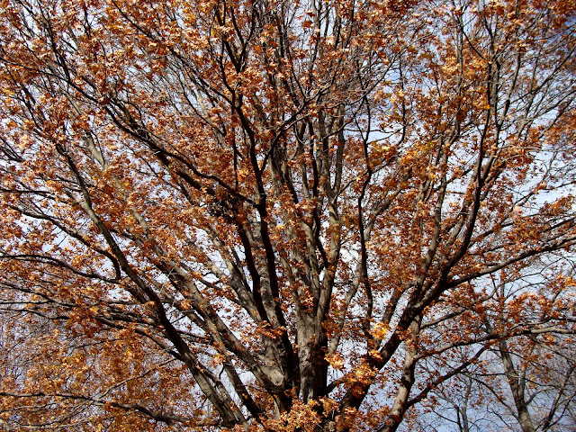 large tree with leaves changing colors during the fall