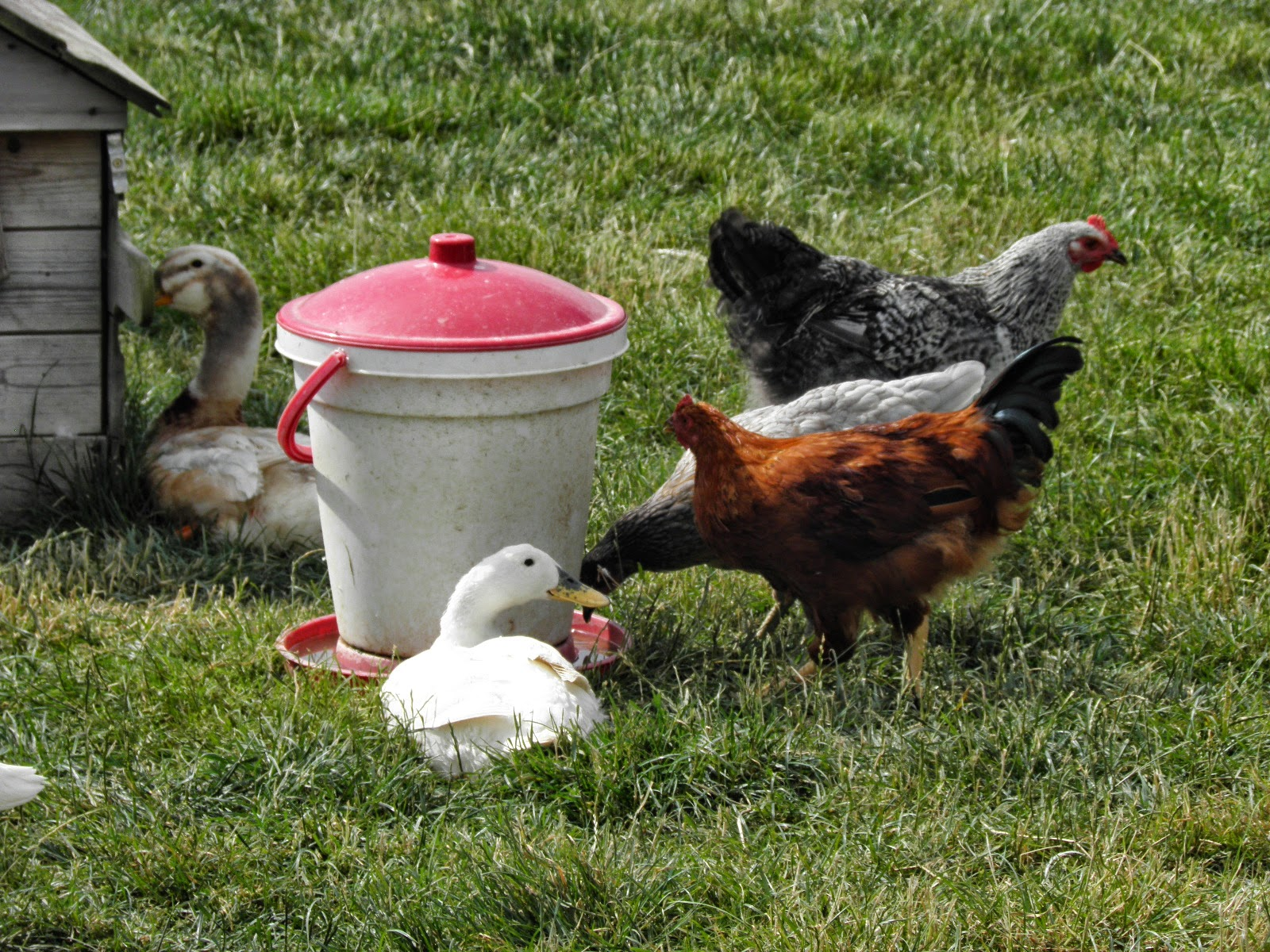 Chickens Water Feeders