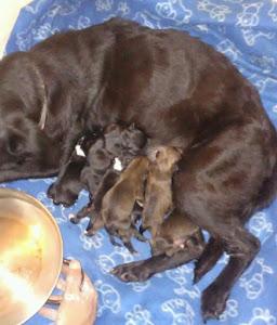 Harley and her 7 puppies