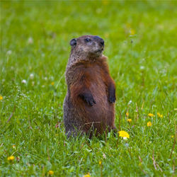 groundhog standing on back legs in green field