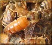 Ratu Lebah