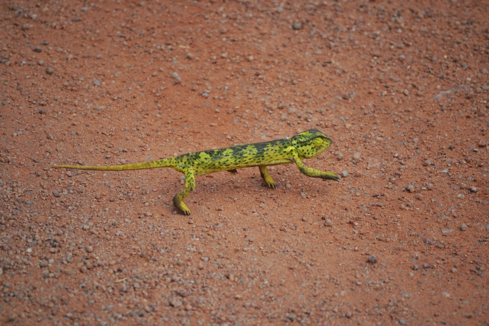 Chameleon crossing dirt road