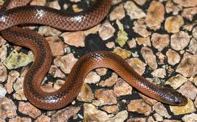 snakes are the elapidae the viperidae and the hydrophidae elapidaeElapidae Fangs