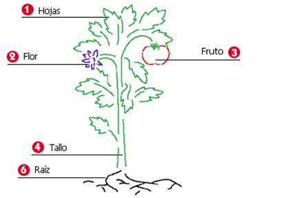 Dibujos de plantas y sus partes para colorear - Imagui