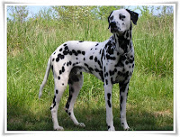 Dalmatian Animal Pictures