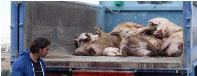 900 Ekor Babi Mati Mengambang Di Shanghai, Sungai Huangpu