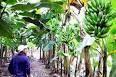 Olanchito,Honduras,Coyoles Central,bananos,Standard Fruit Company