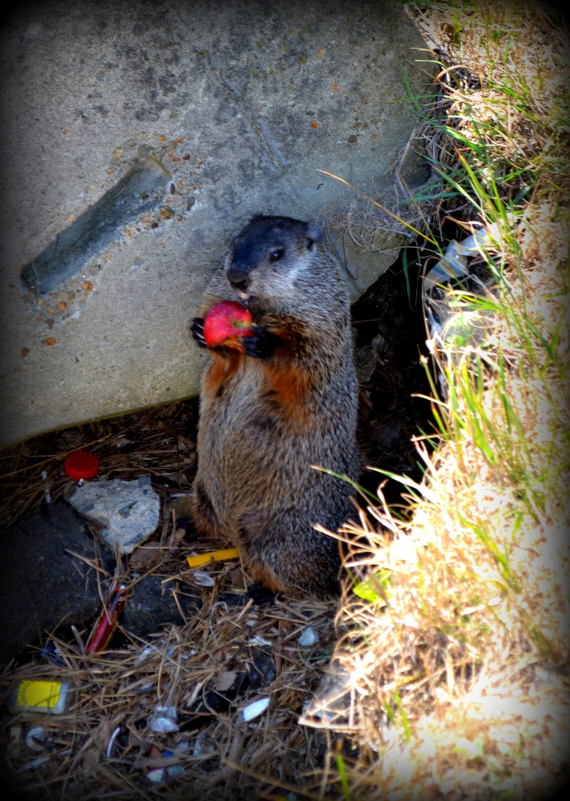 groundhog, gopher, woodchuck, apple, shadow